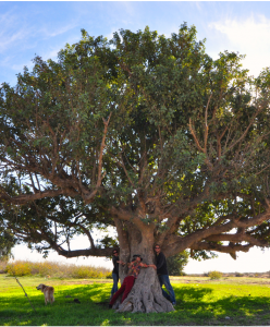 Carob trees grow all over the world from India to Australia with farmer relaxing beneath.